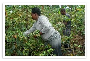 コーヒー タンザニア リマ AA キボー