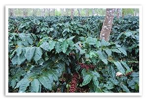 ラオス ダオフン農園の香味