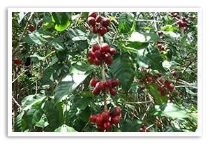 エチオピア ハロ バルティ G-1 ウォッシュドの香味