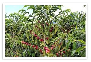 エクアドル ルグマパタ農園 ブルボンの香味