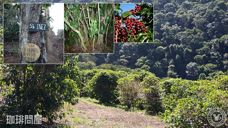 ブラジル 百年珈樹 セルタオ農園 レッドブルボン ナチュラル