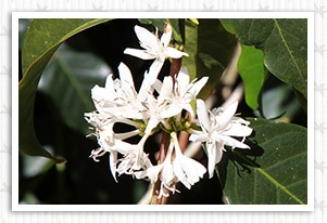 コスタリカ メサ ヌエバの香味