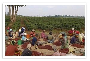 キリマンジャロAA TOP キチョニ農園の香味