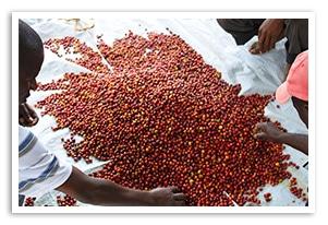 ルワンダ スカイヒルの香味