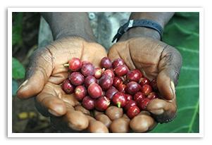 タンザニア キゴマ キボー AAの香味