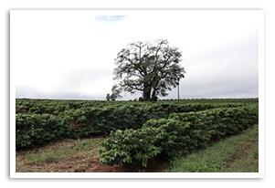 フルーティーブラジル S-18の生産農園
