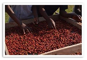 ウガンダ アフリカンムーンの香味