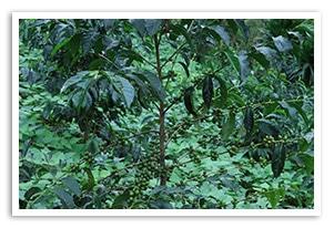 エチオピア グジ ゲレナ農園 ゲレザ ゲイシャ G-3 ナチュラルの香味