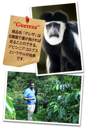 エチオピア グジ ゲレナ農園 ゲレザ ゲイシャ G-3 ナチュラルについて