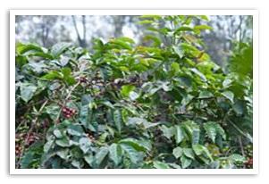 タンザニア ンゴロンゴロAA コンゴニ農園の香味