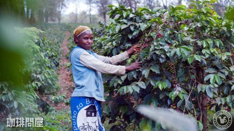 タンザニア ンゴロンゴロAA コンゴニ農園