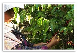 マダガスカル ミマ ブルボン ナチュラルの香味