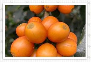 エルサルバドル ディビナ プロビデンシア農園 オレンジブルボンの香味