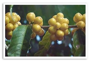 ブラジル イパネマ プレミアクリュー ゴールドエディションの香味