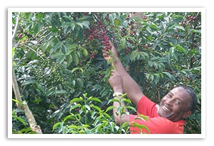 エチオピア イルガチェフェ ミリアム G1 ウォッシュドの香味