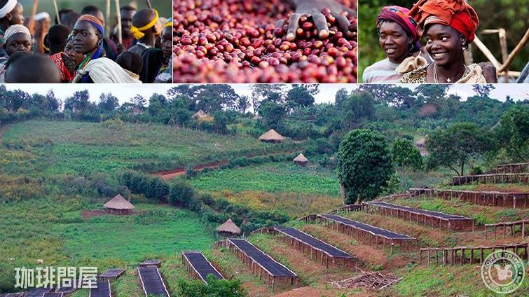 エチオピア ゲシャ ビレッジ農園 バンギ ゴリゲイシャ ナチュラル