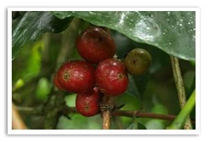 インドネシア マンデリン ベイビーシナール ピーベリーの香味
